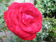 Rose with dewdrops