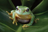 Magnificent Tree Frog 900
