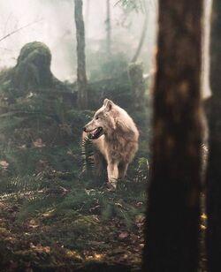 Wolf in forest.jpg