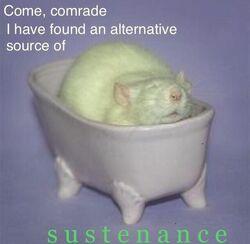Rat in a bath.jpg