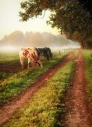 Country cows
