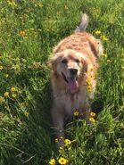 Golden retriever in a field