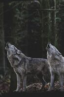 Wolves howling wolfcore wolfaboo