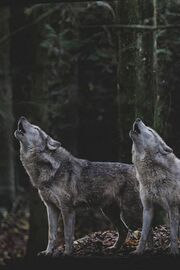 Two wolves stood on a rock howling. a forest of trees is behind them.