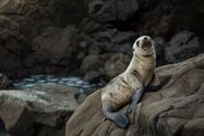 5420017-seal-sea-life-seal-animal-rock-rocky-animal-wildlife-wild-wilderness-baby-seal-sea-lion-brown-sealion-dark-darklife-big-sur-beach-ocean-nature-coast-public-domain-images