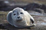 Harbor-seal-mammal-phoca-vitulina-725x481