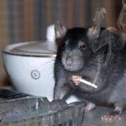 Just a nice rat smoking a little cigarette