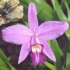 Laelia sincorana (Orchid)