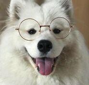 Caninecore dogcore samoyed wearing glasses