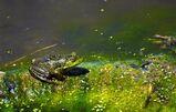 Swamp-frog-donald-brice