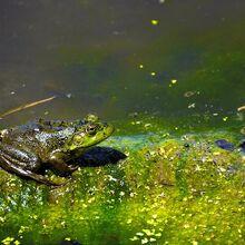 Swamp-frog-donald-brice.jpg