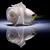 White rose, SQ