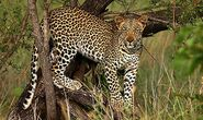 African Leopards2