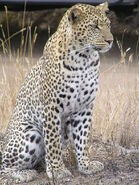 800px-Leopard africa