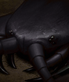 Black scolopendra.png