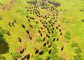 Herd bison