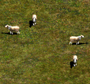 Aoe2 sheep.png