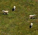 Aoe2 sheep.png