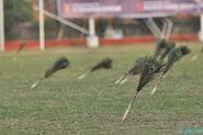 Arambai darts