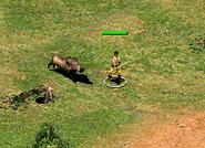 Wild Boar chasing