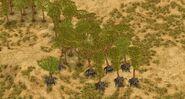 Walking Acacias