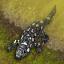 War Salamander