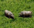 AOE2Rhinoceros