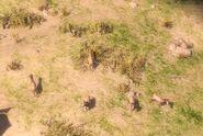 Saiga grazing