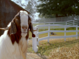 Billy (goat)