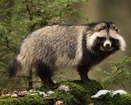 487042f82ceef6d7f09b17d3c5d53d45--wildlife-nature-raccoons