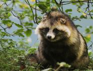 Raccoon-dog