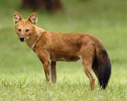 The dhole's appearance