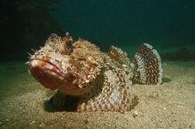 Skorpionfisch.jpg