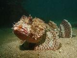 Skorpionfische
