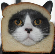 Cat-sandwich-982