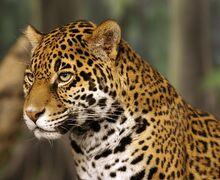 Jaguar head shot-edit2.jpg