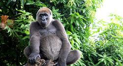 Gorilla gorilla diehli.jpg