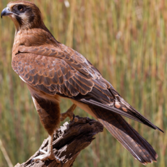 Brown Falcon.png