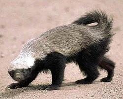 Honey Badger.png