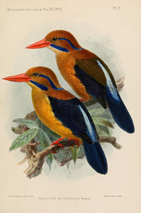 Moustached Kingfisher.png