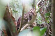 Pheasant Cuckoo.jpg