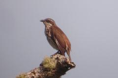 Stripe-breasted rhabdornis.png
