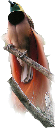 Raggiana Bird-of-paradise.png