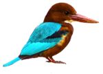 White-throated Kingfisher2.png