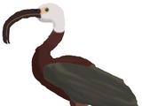 Long-billed Ibis