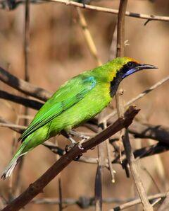 Golden Fronted Leafbird Mukulhinge.jpg