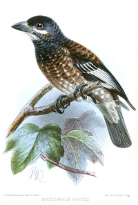 Whyte's Barbet.png