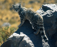 Andean Mountain Cat.png