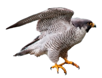 Peregrine Falcon.png