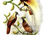 Emperor Bird-of-paradise